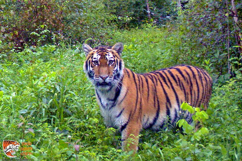 Тигрица Филиппа изПриморья готовится вернуться вдикую природу