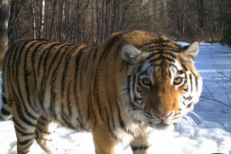 Тигрица фото животного